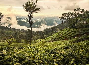 چای سیلان ، مهم ترین و مشهورترین سوغات سریلانکا